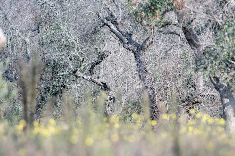 ulivi-olivi-affetti-da-xylella-fastidiosa-by-marcoverri-adobe-stock-750x500