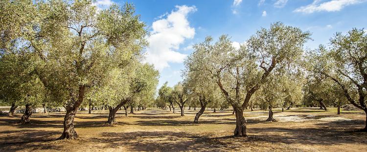 ulivi-olivi-olivicoltura-puglia-by-siegfried-schnepf-adobe-stock-750x310.jpeg