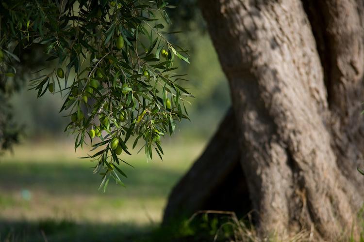 ulivo-olivi-olive-by-riccardo-bruni-adobe-stock-750x500
