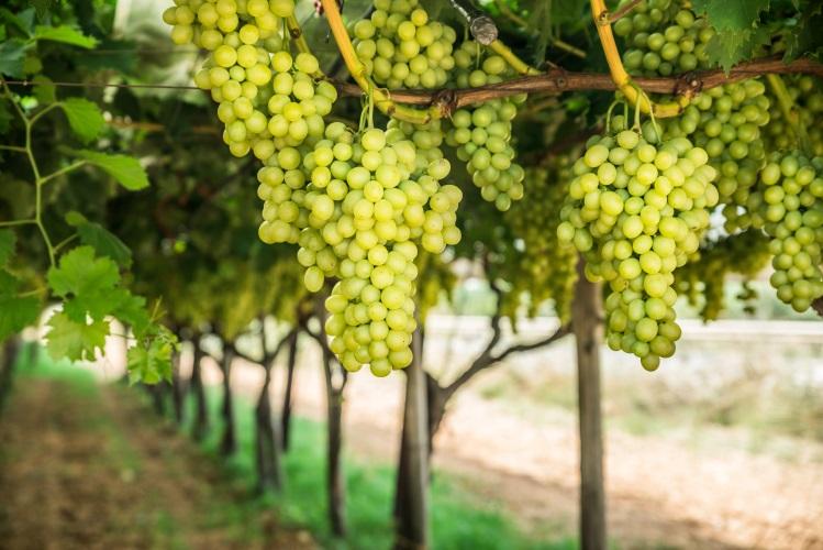 uva-bianca-ta-da-tavola-grappoli-maturi-by-volff-adobe-stock-749x500.jpeg