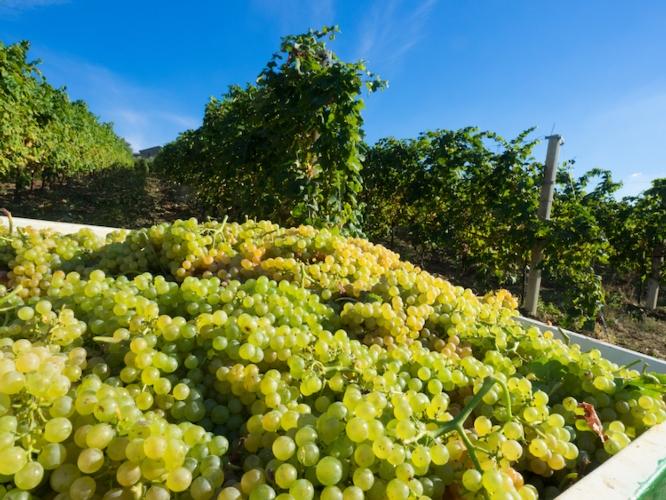 uva-bianca-vigneto-tenuta-nasano-rubrica-agroinnovatori-set-2020-fonte-tenuta-nasano