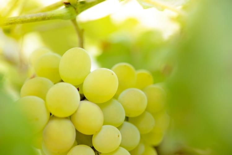 uva-da-tavola-acini-fertilizzanti-biostimolanti-alghe-algaren-twin-expando-redazionale-aprile-2021-fonte-green-has