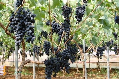 Uva da tavola in puglia si punta alla riconversione - Uva da tavola coltivazione ...