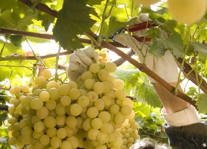 39 oro 39 di sicilia agronotizie vivaismo e sementi - Uva da tavola coltivazione ...