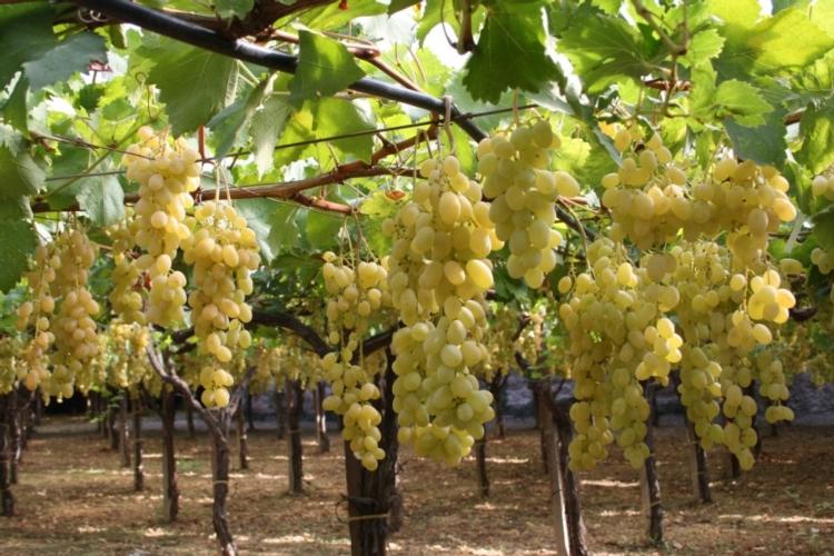 19 congresso uva da tavola targa bacca d 39 oro ai vivai for Barbatelle di vite