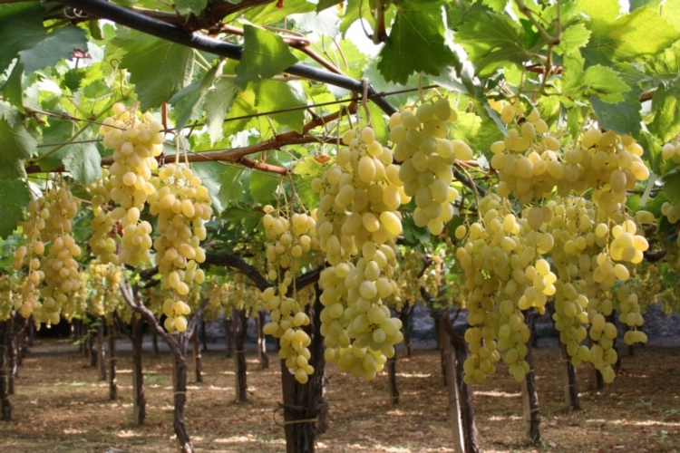 19 congresso uva da tavola targa bacca d 39 oro ai vivai - Vivai rauscedo uva da tavola ...