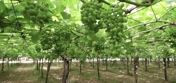 uva-da-tavola-schermata-video-in-campo-con-l-agronomo-2019-fonte-uva-da-tavola-com