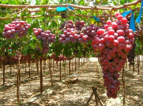 uva-da-tavola-tradecorp-nutrizione