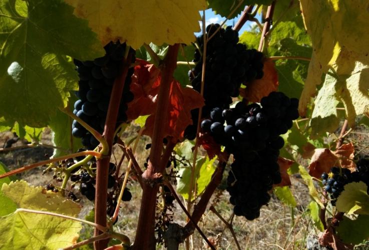 uva-nera-vite-vigneto-vitigno-by-matteo-giusti-agronotizie-jpg
