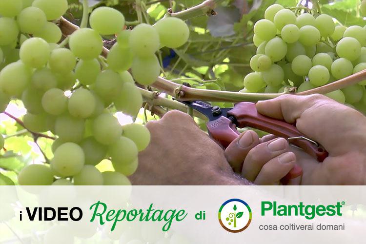 Uva da tavola, qualità e innovazione per crescere - Plantgest news sulle varietà di piante