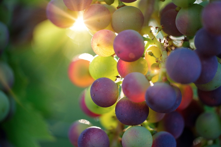 Vite, un'ottima annata per il 2018 - Plantgest news sulle varietà di piante