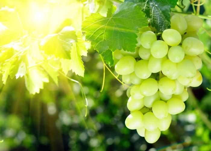 Sveglia l 39 italia dell 39 uva da tavola non pu rimanere al - Uva da tavola coltivazione ...