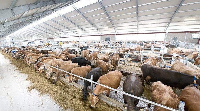 vacche-articolo-delaval-fonte-fieragricola