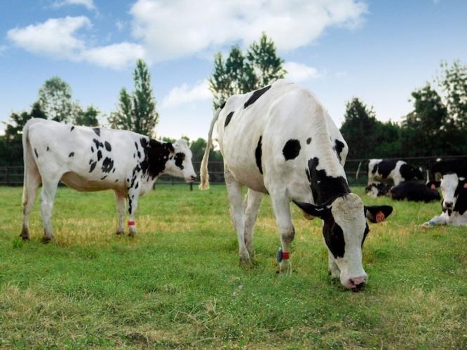 vacche-parmigiano-reggiano-oltrebio-fonte-uff-stampa-crpa-ok.jpg