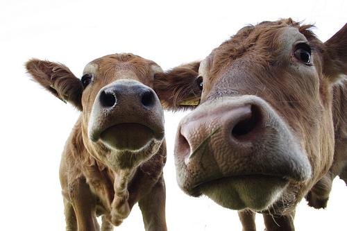 vacche_primo_piano-pascalk