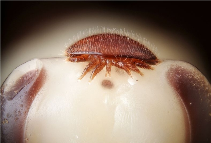 varroa-acaro-api-by-gilles-san-martin-wikipedia-jpg