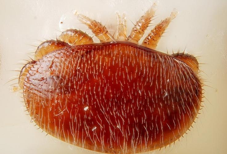 varroa-by-glilles-san-martin-modificata-pavel-klimov-wikipedia-jpg.jpg