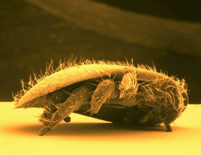 varroa-destructor-foto-BASF