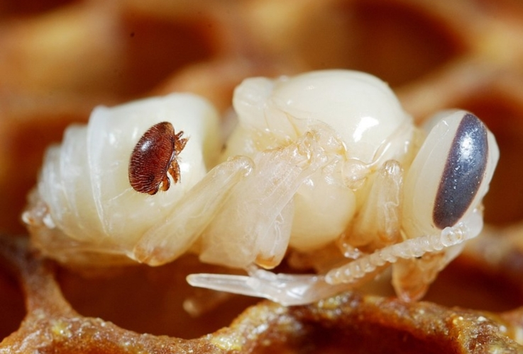 varroa-pupa-ape-by-gilles-san-martin-wikipedia-jpg