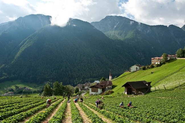 vegemont-Raccolta-fragole-Val-Venosta-2012