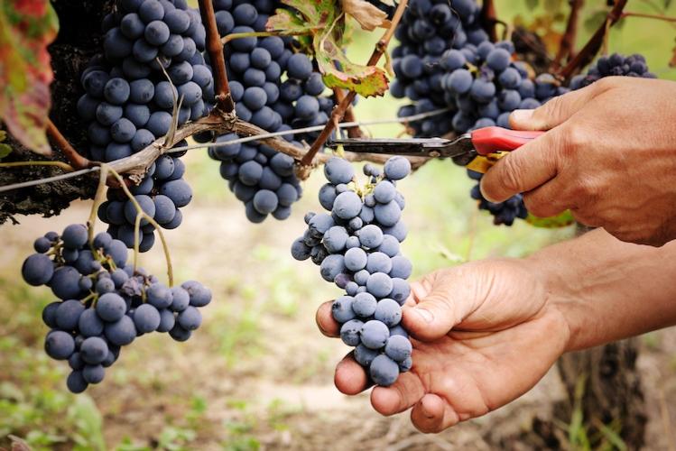 vendemmia-uva-grappolo-grappoli-by-anna-khomulo-adobestock-750x501