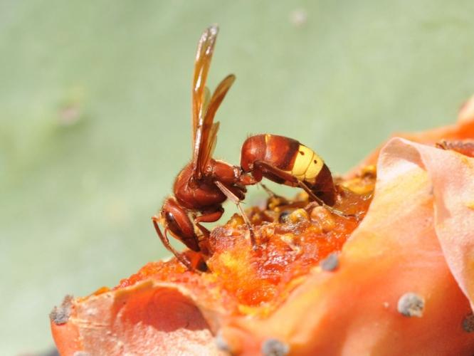 vespa-orientalis-by-zeynel-cebeci-wikipedia-jpg.jpg