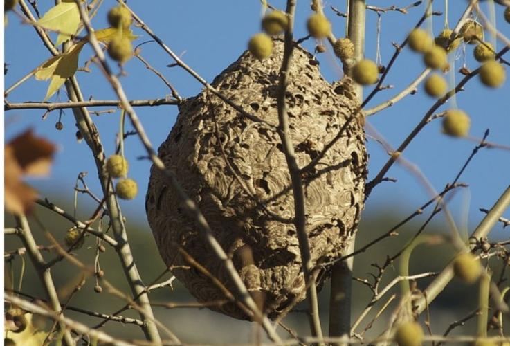 vespa-velutina-nido-albero-by-fredciel-wikipedia-jpg.jpg