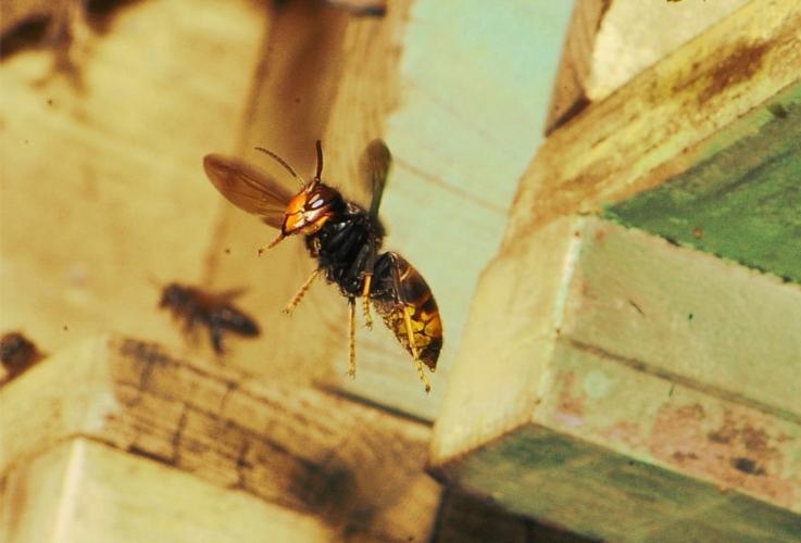 vespa-velutina-volo-apiario-by-antonio-felicioli