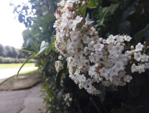 viburnio-fonte-pubblici-giardini-addolorata-ines-peduto-202106161