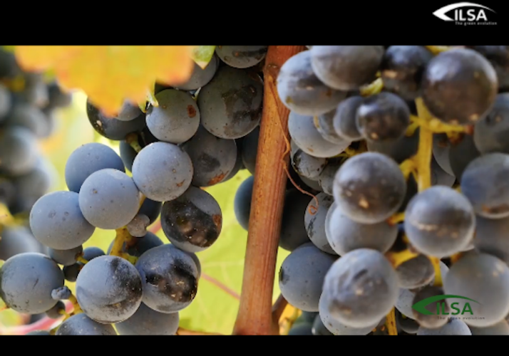 video-nutrire-pianeta-uva-vino-fonte-ilsa.png