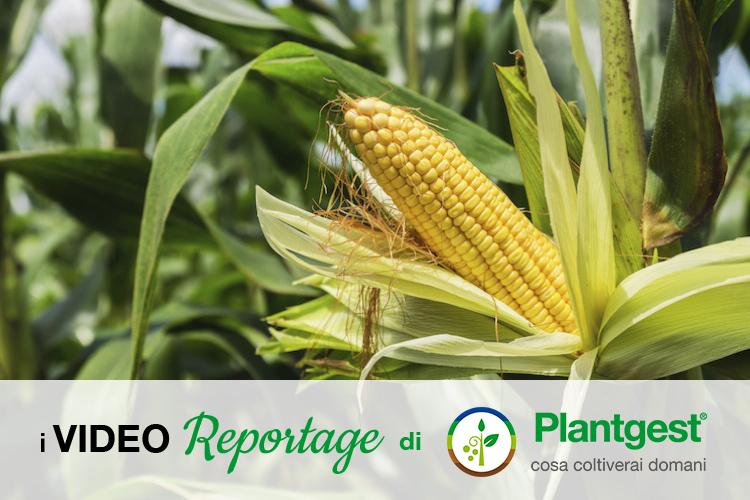 Mais, cosa c'è oltre la siepe? - Plantgest news sulle varietà di piante