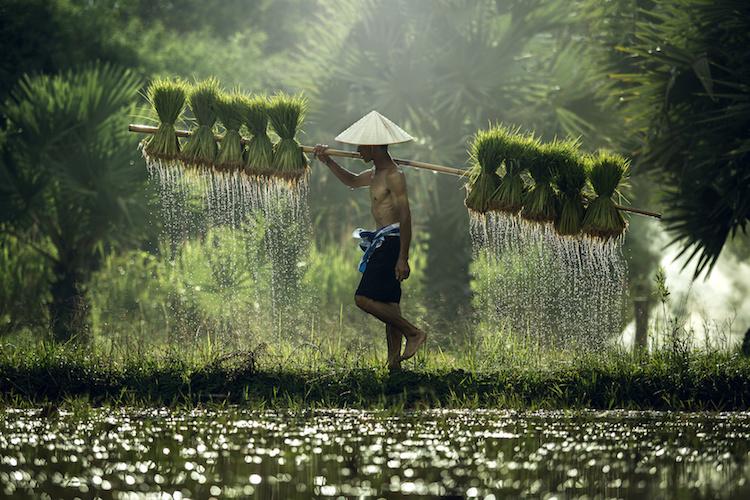 vietnam-riso-agricoltore-vietnamita-by-tong2530-fotolia-750.jpeg