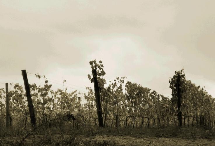vigna-by-matteo-giusti-agronotizie.jpg