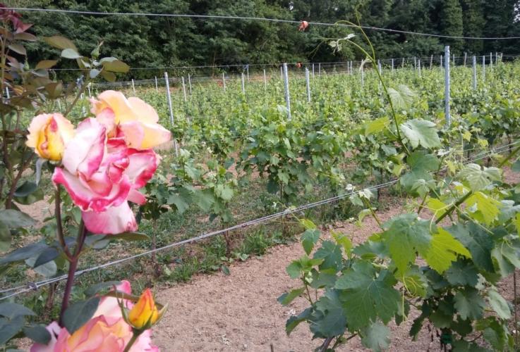 vigna-vigneto-rosa-by-matteo-giusti-agronotizie-jpg
