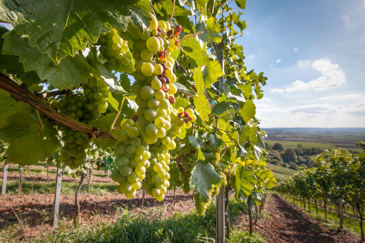 Vigneto e frutteto: tecnologie made in Italy in Sudafrica
