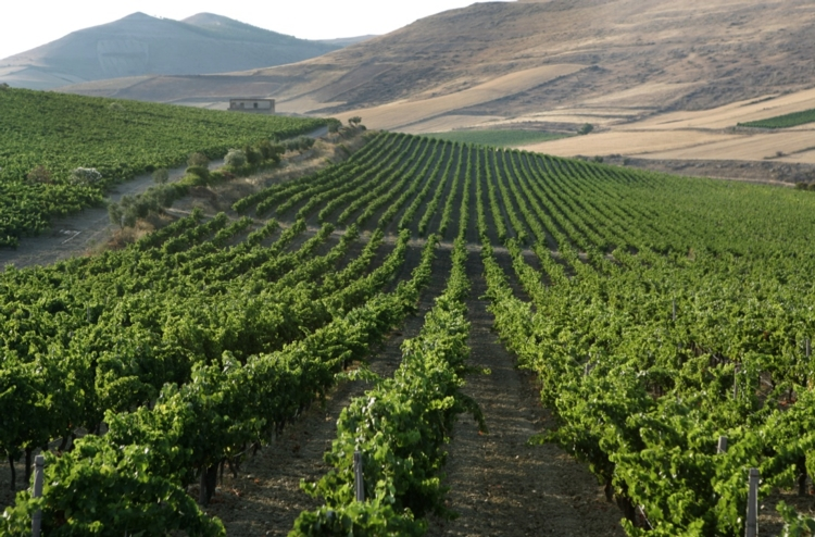 vigne-argiolas.jpg