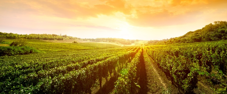 vigneti-vigneto-vigne-vigna-by-luckybusiness-adobe-stock-750x311.jpeg
