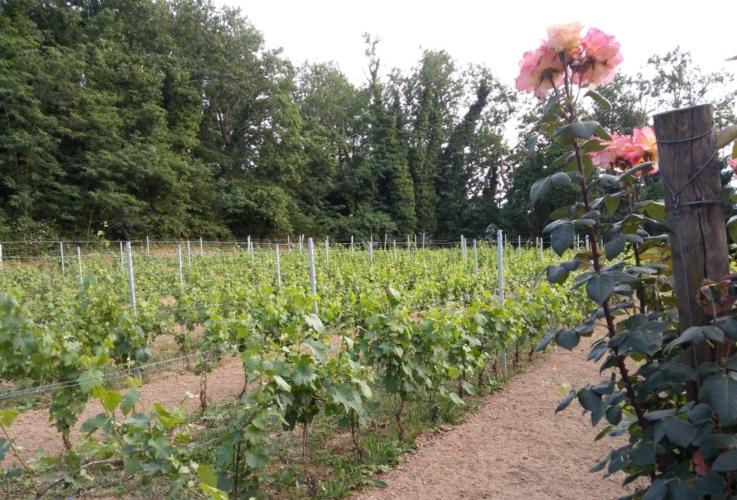 vigneto-rosa-oidio-vite-by-matteo-giusti-agronotizie-jpg