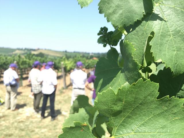 vigneto-syngenta-in-campo-grapefield-tour-2015-tebano-luglio-2015-by-agncs