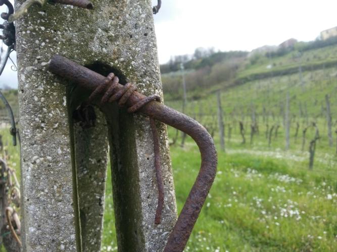 vigneto-vecchio-pali-cemento-by-matteo-giusti-agronotizie-jpg