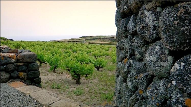 vite-alberello-pantelleria.jpg