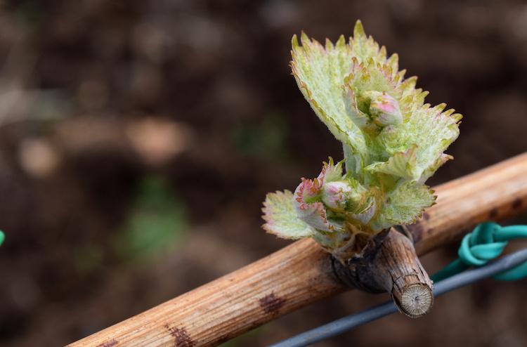 vite-germoglio-viticoltura-vitivinicoltura-by-antonina-dattola-adobe-stock-750x494.jpeg
