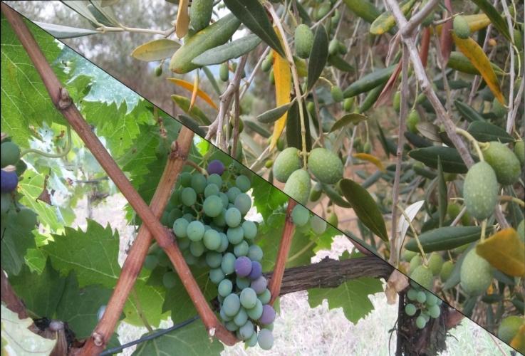 vite-olivo-by-matteo-giusti-agronotizie-jpg