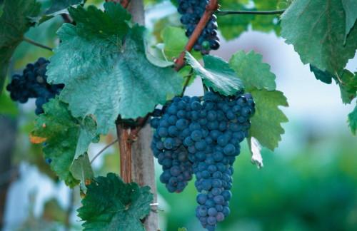 vite-per-uva-da-vino-by-tradecorp-500