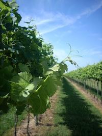 vite-uva-da-vino-tralci-inizio-estate-veneto-byil_cs.jpg