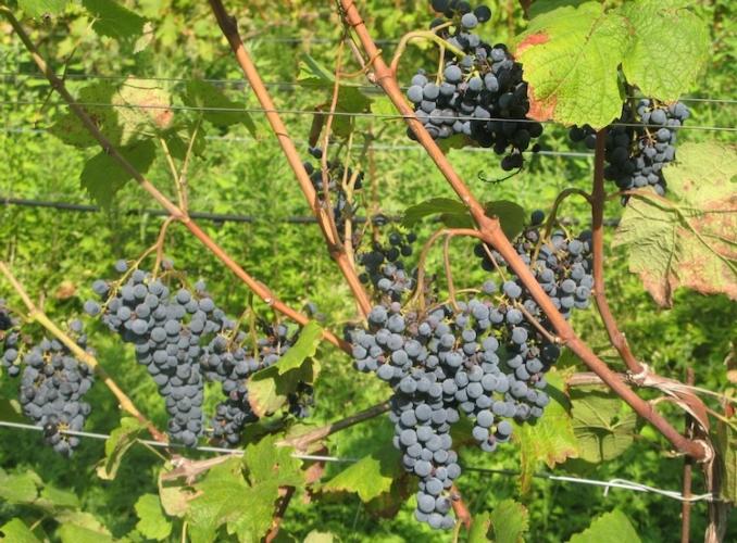 vite-uva-pianta-f22p09-ott-2020-fonte-fondazione-edmund-mach.jpg