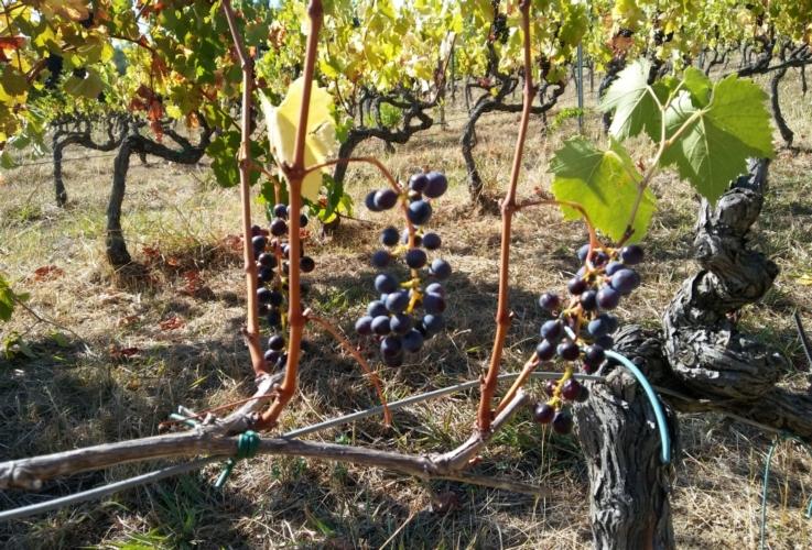 vite-uva-siccita-by-matteo-giusti-agronotizie-jpg