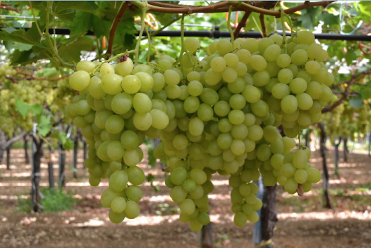 vite-vigna-e-olivo-2021-febbraio-marzo-grappoli-uva-da-tavola-fonte-crea