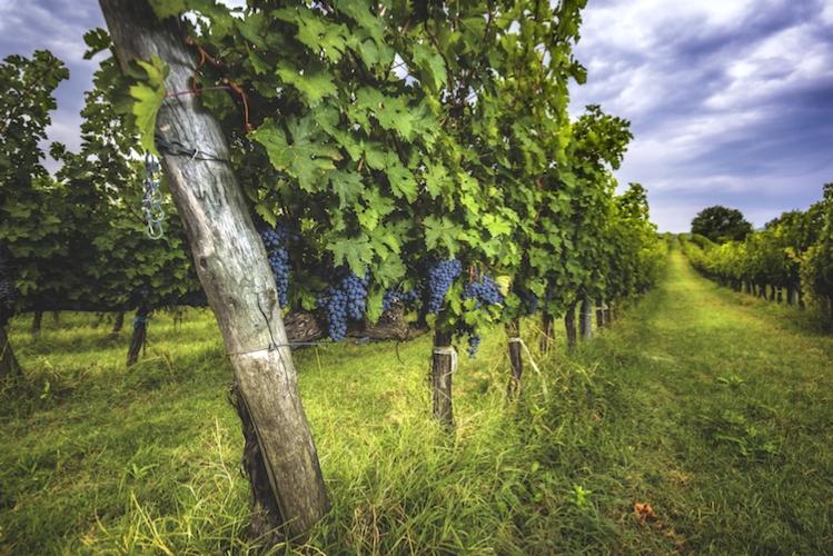 vite-vigneto-sangiovese-uva-vitivinicoltura-by-gentelmenit-fotolia-750