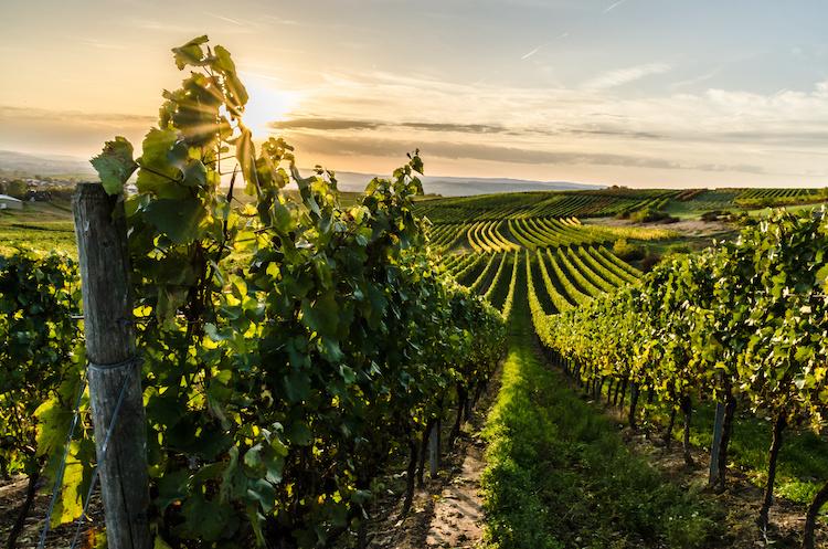 vite-vigneto-viticoltura-by-riebevonsehl-adobe-stock-750x497